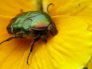 A beetle on a yellow flower