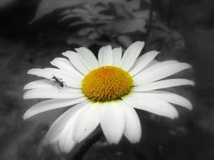 A ant on a daisy